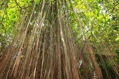 Δέντρο Banyan Στοκ Φωτογραφίες