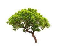 Δέντρο Banyan (annulata Ficus) Στοκ φωτογραφίες με δικαίωμα ελεύθερης χρήσης