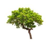 Δέντρο Banyan (annulata Ficus) Στοκ εικόνες με δικαίωμα ελεύθερης χρήσης