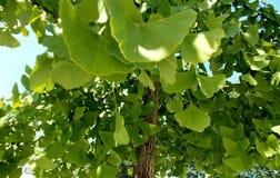 Δέντρο Biloba Ginkgo στοκ εικόνες