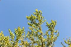 Δέντρο Biloba Ginkgo στοκ εικόνες με δικαίωμα ελεύθερης χρήσης
