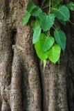 Δέντρο Bodhi Στοκ εικόνες με δικαίωμα ελεύθερης χρήσης
