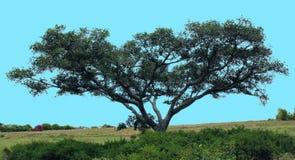 Δέντρο Bodhi Στοκ Εικόνα