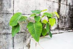 Δέντρο Bohdi στοκ εικόνες με δικαίωμα ελεύθερης χρήσης