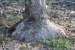 Δέντρο Burl κιβωτίων Στοκ Εικόνες