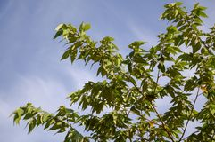 Δέντρο calabura Muntingia στον κήπο φύσης Στοκ Φωτογραφίες