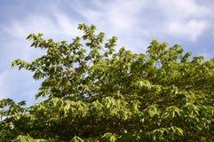 Δέντρο calabura Muntingia στον κήπο φύσης Στοκ Εικόνες