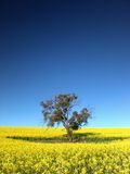 δέντρο canola στοκ εικόνες