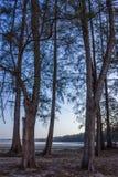 Δέντρο Casuarina Στοκ φωτογραφία με δικαίωμα ελεύθερης χρήσης