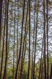 Δέντρο Casuarina Στοκ εικόνα με δικαίωμα ελεύθερης χρήσης