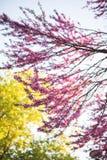 Δέντρο Cercis στο πλήρες άνθος Στοκ Εικόνα