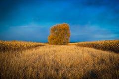 Δέντρο cornfield Στοκ Φωτογραφία