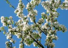 Δέντρο Crabapple, άνθισμα Στοκ φωτογραφίες με δικαίωμα ελεύθερης χρήσης