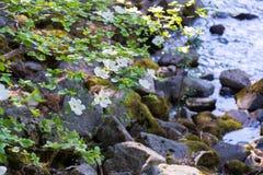 Δέντρο Dogwood με τα λουλούδια κοντά στο χρόνο ποταμών την άνοιξη Στοκ εικόνα με δικαίωμα ελεύθερης χρήσης