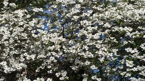 Δέντρο 1 Dogwood Στοκ φωτογραφία με δικαίωμα ελεύθερης χρήσης