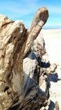Δέντρο Driftwood στην παραλία Στοκ Φωτογραφία
