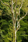 δέντρο eacalyptus Στοκ Εικόνες