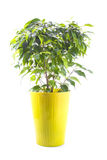 Δέντρο Ficus σε ένα φωτεινό κεραμικό δοχείο που απομονώνεται στο λευκό Στοκ εικόνα με δικαίωμα ελεύθερης χρήσης