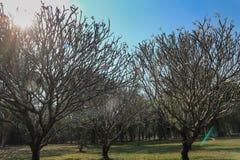 Δέντρο Frangipani ή plumeria με το υπόβαθρο μπλε ουρανού Στοκ εικόνες με δικαίωμα ελεύθερης χρήσης