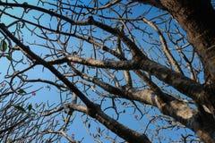 Δέντρο Frangipani ή plumeria με το υπόβαθρο μπλε ουρανού Στοκ Φωτογραφία