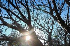 Δέντρο Frangipani ή plumeria με το υπόβαθρο μπλε ουρανού Στοκ Εικόνα