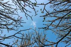 Δέντρο Frangipani ή plumeria με το υπόβαθρο μπλε ουρανού Στοκ Εικόνες