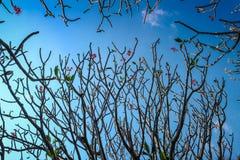 Δέντρο Frangipani ή plumeria με το υπόβαθρο μπλε ουρανού Στοκ Φωτογραφίες