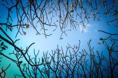 Δέντρο Frangipani ή plumeria με το υπόβαθρο μπλε ουρανού Στοκ φωτογραφία με δικαίωμα ελεύθερης χρήσης