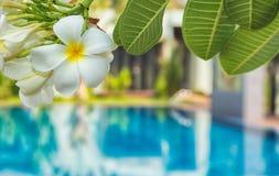 Δέντρο Frangipani ενάντια στην πισίνα Στοκ Εικόνα
