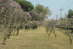 Δέντρο Frangipani στον κήπο του ροζ, plumeria Στοκ Εικόνες