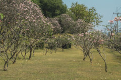 Δέντρο Frangipani στον κήπο του ροζ, plumeria Στοκ εικόνα με δικαίωμα ελεύθερης χρήσης