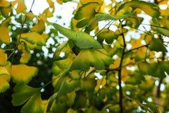 Δέντρο Ginkgo με το κίτρινο biloba Ginkgo φύλλων το φθινόπωρο στοκ φωτογραφίες