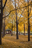 Δέντρο Ginkgo το φθινόπωρο στοκ εικόνα με δικαίωμα ελεύθερης χρήσης