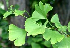 δέντρο ginkgo biloba στοκ εικόνα με δικαίωμα ελεύθερης χρήσης