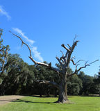 Δέντρο Gnarly Στοκ εικόνα με δικαίωμα ελεύθερης χρήσης