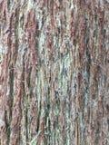 Δέντρο Guaje Στοκ φωτογραφία με δικαίωμα ελεύθερης χρήσης