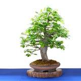 Δέντρο hornbeam ο βετουλοειδής καρπίνος μπονσάι Στοκ εικόνα με δικαίωμα ελεύθερης χρήσης