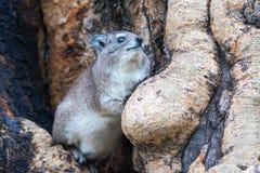 Δέντρο hyrax Στοκ φωτογραφίες με δικαίωμα ελεύθερης χρήσης