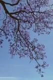 δέντρο jacaranda Στοκ Φωτογραφία