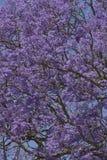δέντρο jacaranda Στοκ εικόνα με δικαίωμα ελεύθερης χρήσης