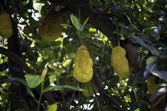Δέντρο Jackfruit με τα φρούτα Στοκ φωτογραφία με δικαίωμα ελεύθερης χρήσης