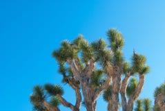δέντρο joshua Στοκ Φωτογραφίες