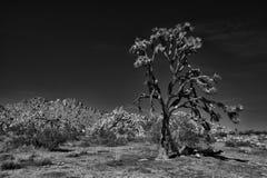 Δέντρο Joshua Στοκ εικόνα με δικαίωμα ελεύθερης χρήσης