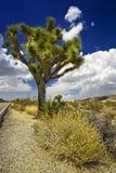 Δέντρο Joshua Στοκ Εικόνα