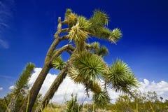 Δέντρο Joshua Στοκ Φωτογραφία