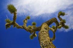 Δέντρο Joshua Στοκ Εικόνες