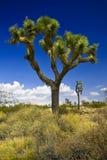Δέντρο Joshua Στοκ φωτογραφίες με δικαίωμα ελεύθερης χρήσης