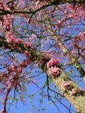 Δέντρο Judas, Tsertsis ευρωπαϊκά Στοκ εικόνα με δικαίωμα ελεύθερης χρήσης