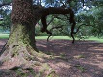 Δέντρο Knarly Στοκ Φωτογραφίες