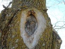 Δέντρο knothole Στοκ εικόνες με δικαίωμα ελεύθερης χρήσης